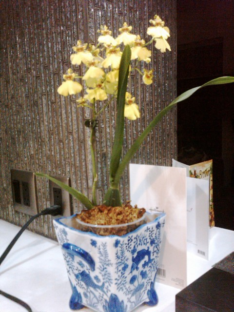 Bring on the dancing ladies = Oncidium